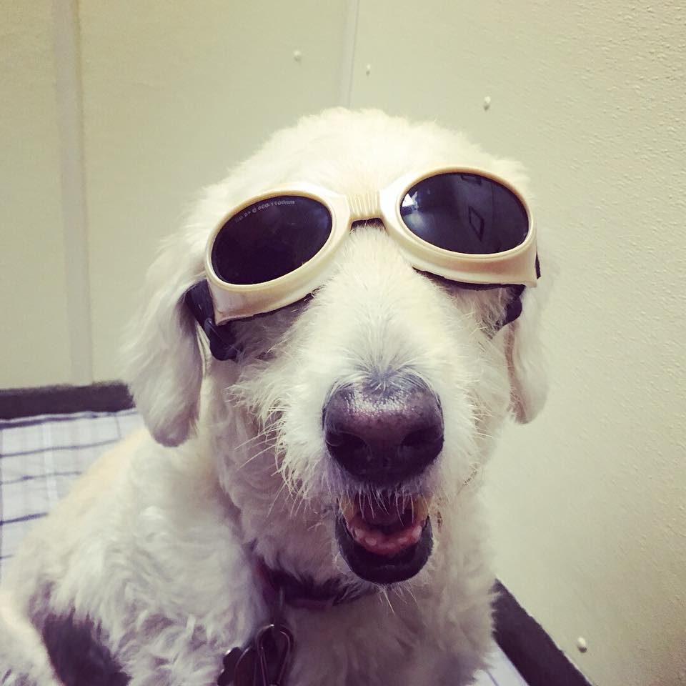 Laser therapy for dogs_Heidi