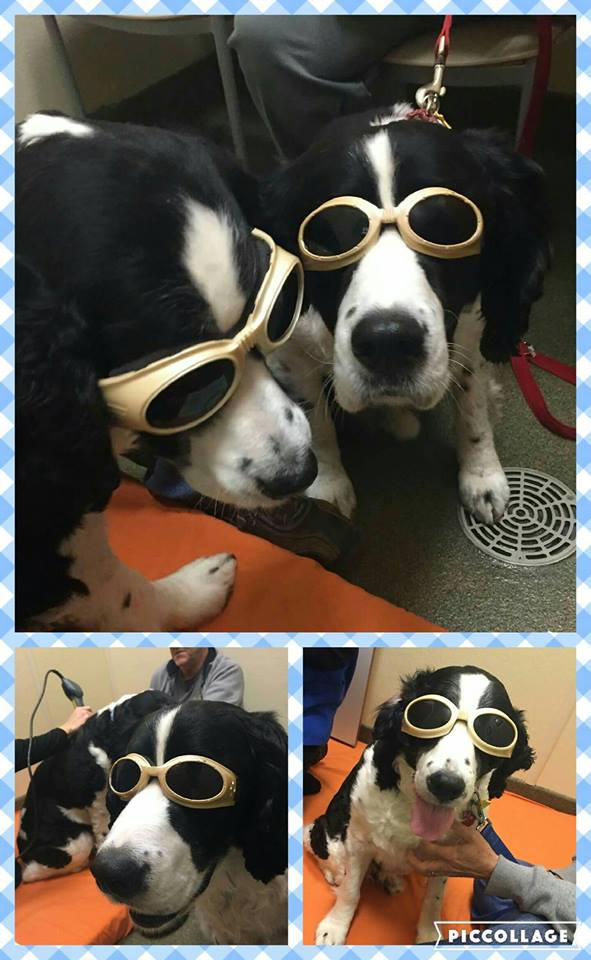 Laser therapy for dogs_ Mojo