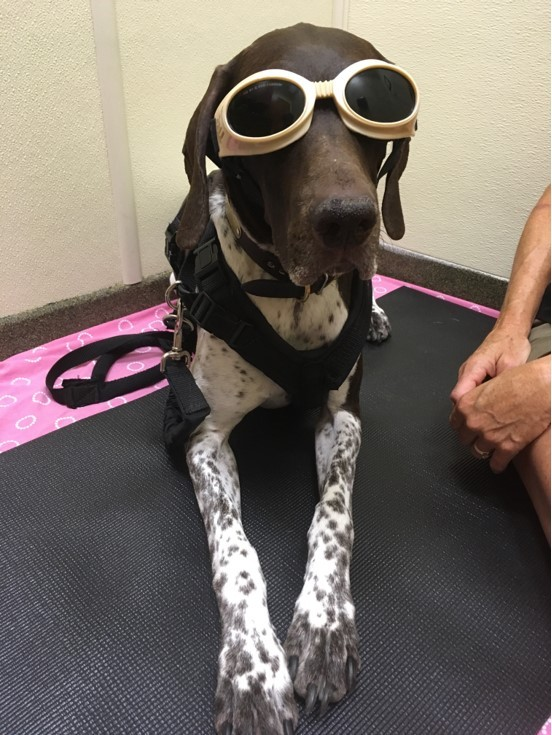 Laser therapy for dogs_Moose